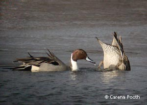 Northern Pintails, photo by Carena Pooth